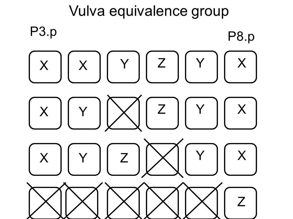 P3.p P8.p XX X Y YZ Vulva equivalence group X X Y YZ X X Y Y Z Z