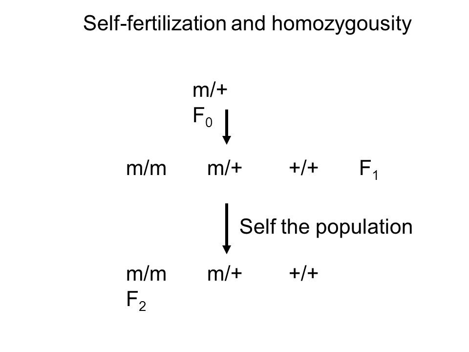 Self-fertilization and homozygousity m/+ F 0 m/m m/+ +/+ F 1 m/m m/+ +/+ F 2 Self the population