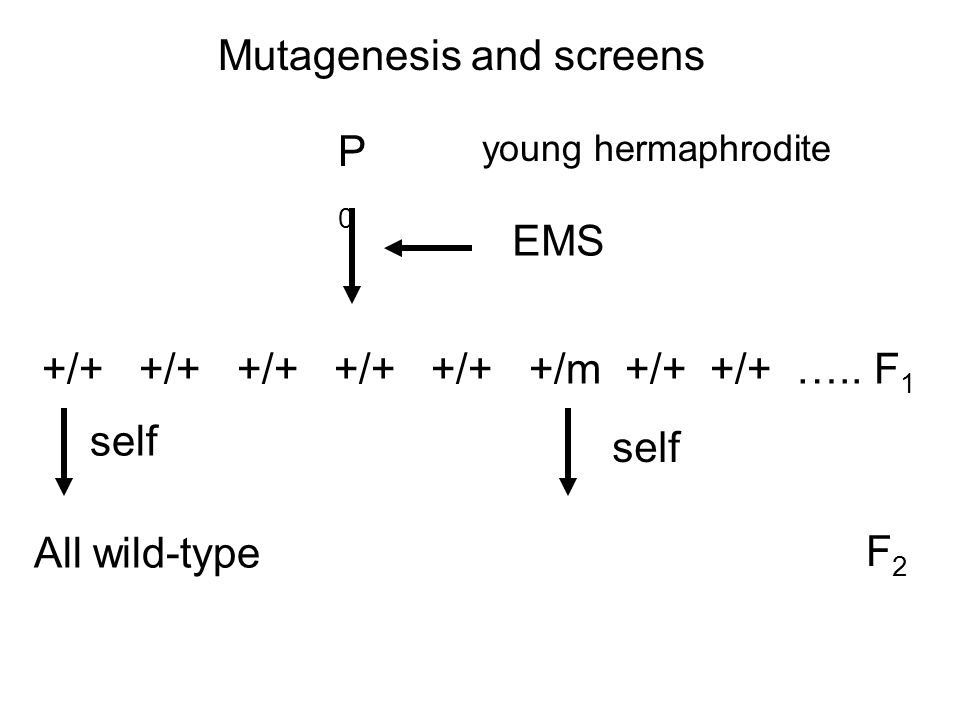 Mutagenesis and screens P0P0 young hermaphrodite EMS +/+ +/+ +/+ +/+ +/+ +/m +/+ +/+ …..