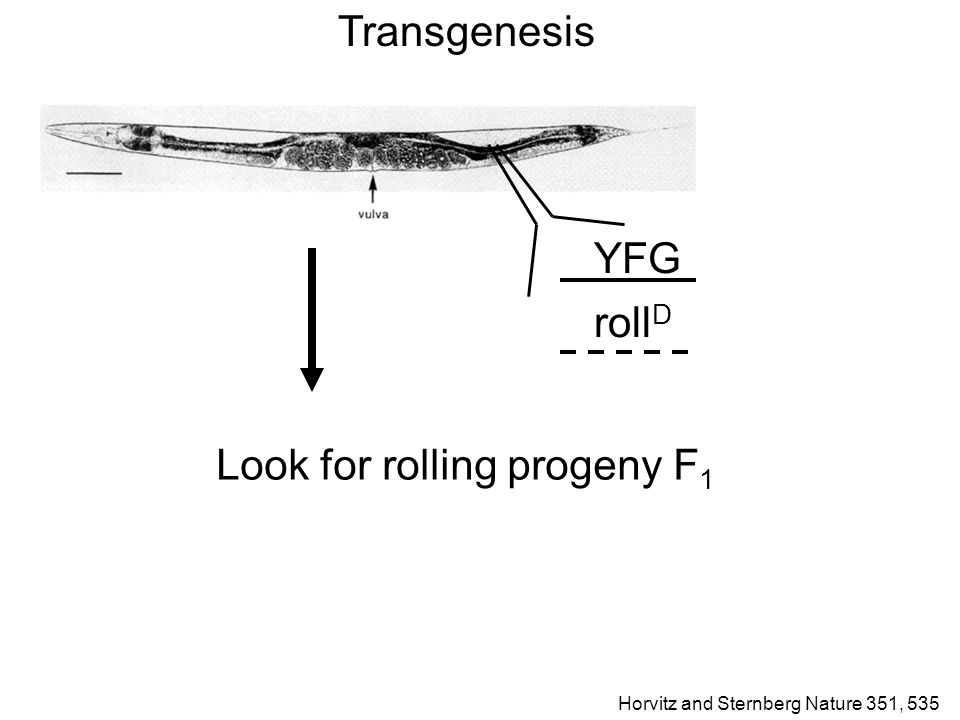 Transgenesis YFG roll D Look for rolling progeny F 1 Horvitz and Sternberg Nature 351, 535