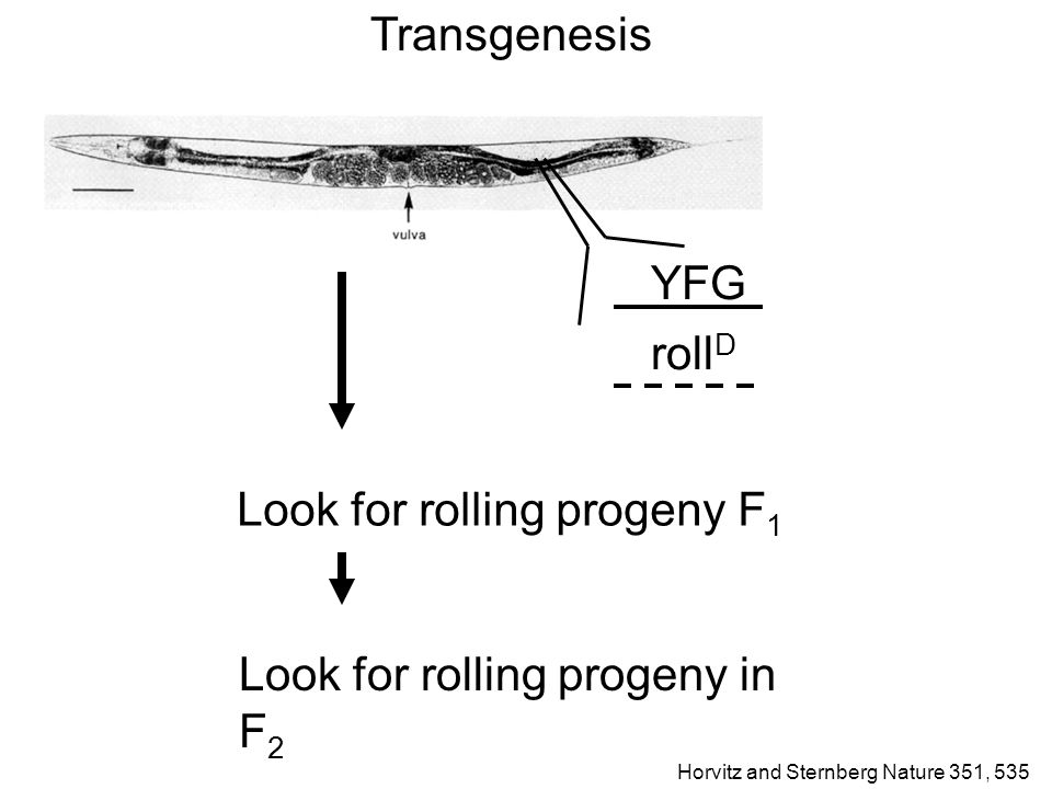 Transgenesis YFG roll D Look for rolling progeny F 1 Look for rolling progeny in F 2 Horvitz and Sternberg Nature 351, 535