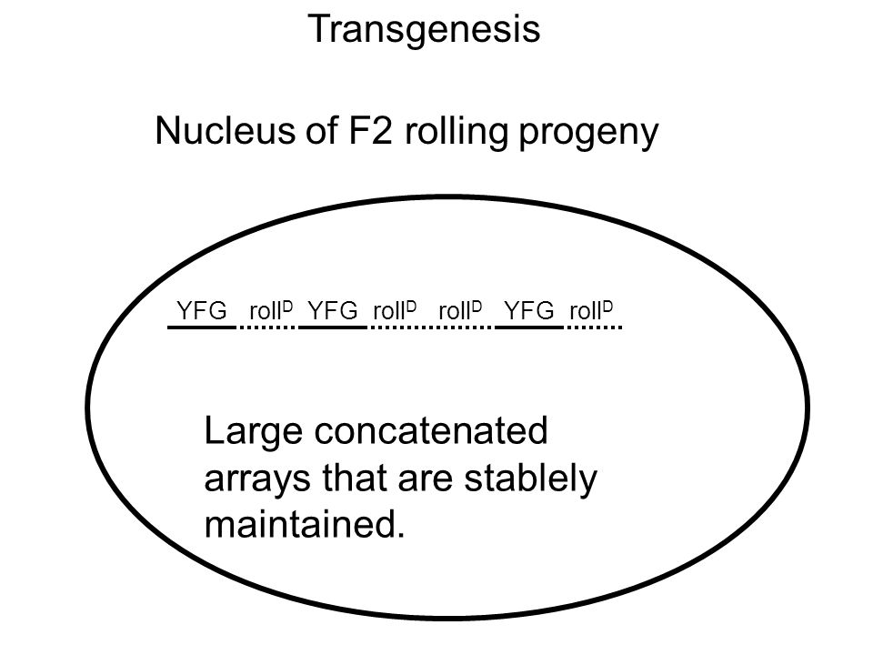 Transgenesis Nucleus of F2 rolling progeny YFGroll D YFG roll D Large concatenated arrays that are stablely maintained.