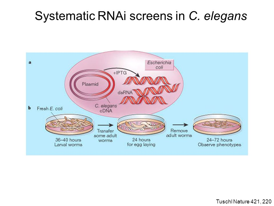 Systematic RNAi screens in C. elegans Tuschl Nature 421, 220