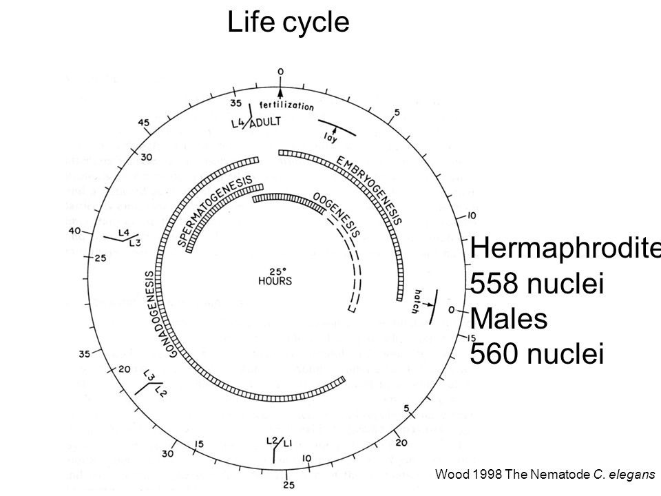 Life cycle Hermaphrodite 558 nuclei Males 560 nuclei Wood 1998 The Nematode C. elegans