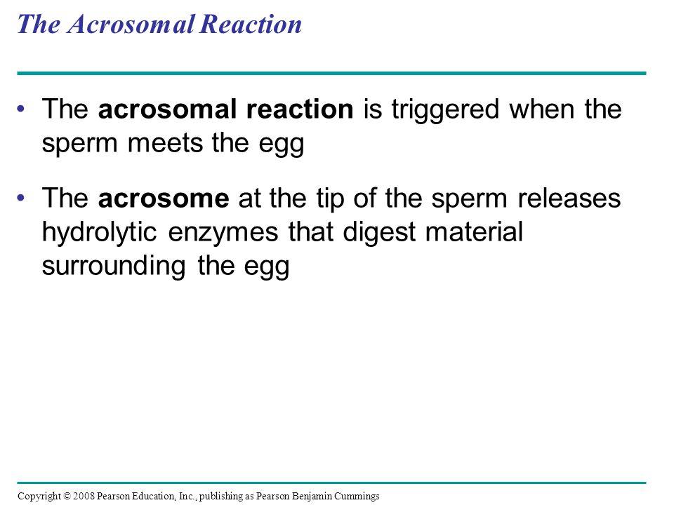 Copyright © 2008 Pearson Education, Inc., publishing as Pearson Benjamin Cummings The Acrosomal Reaction The acrosomal reaction is triggered when the