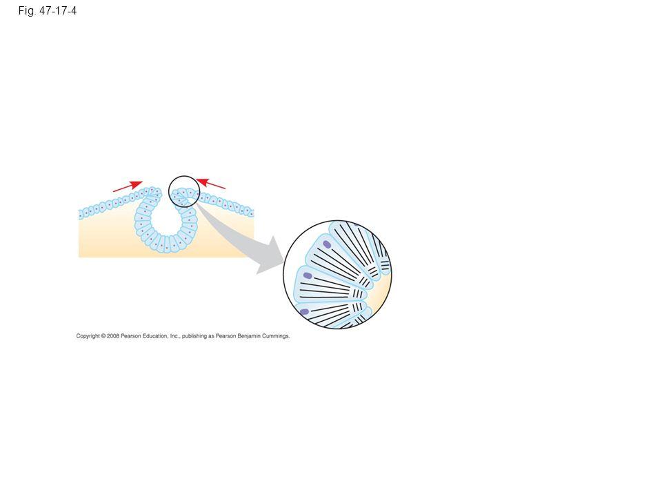 Fig. 47-17-5 Neural tube