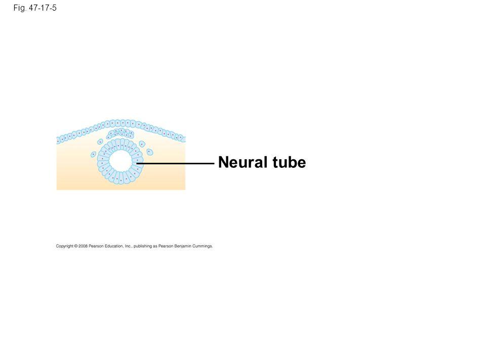 Fig. 47-17-6 Neural tube Actin filaments Microtubules Ectoderm Neural plate
