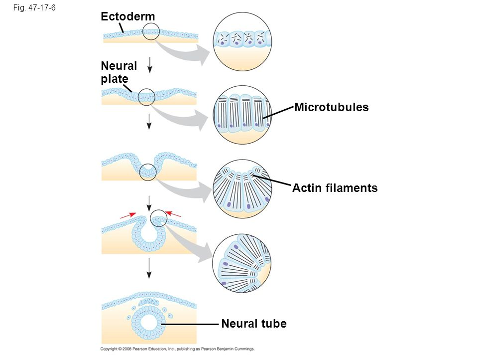 Copyright © 2008 Pearson Education, Inc., publishing as Pearson Benjamin Cummings The cytoskeleton also drives cell migration, or cell crawling, the active movement of cells In gastrulation, tissue invagination is caused by changes in cell shape and migration Cell crawling is involved in convergent extension, a morphogenetic movement in which cells of a tissue become narrower and longer