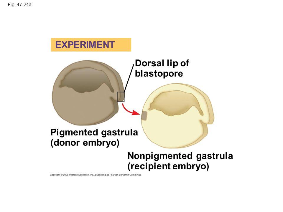 Fig. 47-24a Dorsal lip of blastopore Pigmented gastrula (donor embryo) EXPERIMENT Nonpigmented gastrula (recipient embryo)