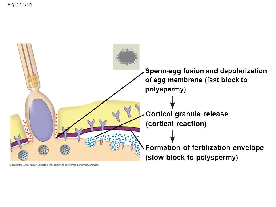Fig. 47-UN2 Blastocoel Animal pole 2-cell stage forming 8-cell stage Blastula Vegetal pole