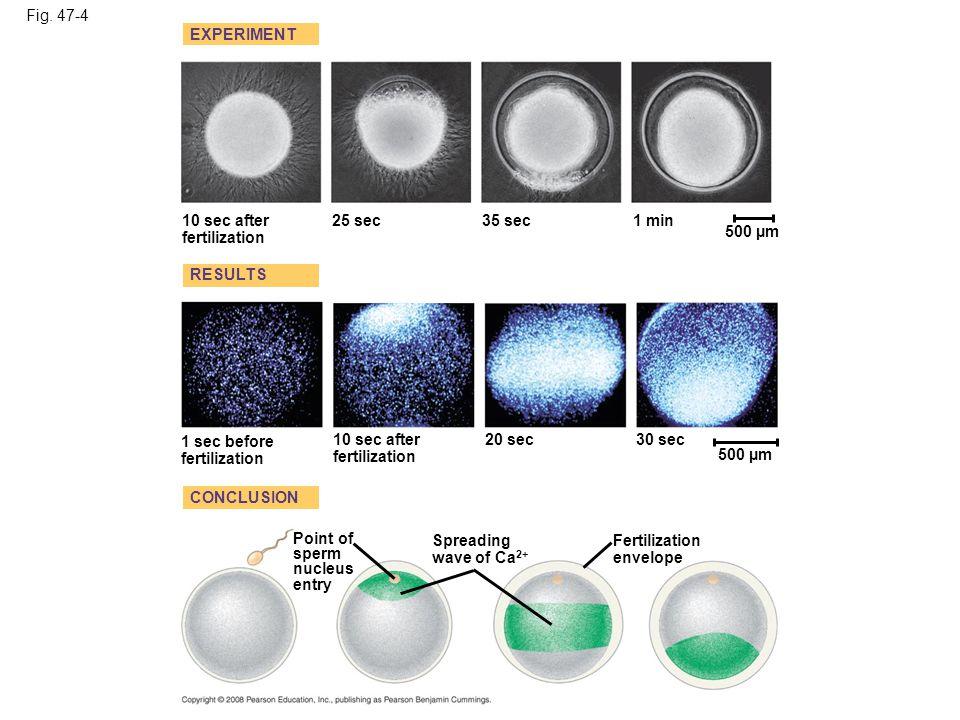 Fig. 47-4a EXPERIMENT 10 sec after fertilization 25 sec35 sec1 min 500 µm