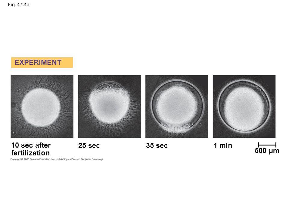 Fig. 47-4b 1 sec before fertilization RESULTS 10 sec after fertilization 20 sec30 sec 500 µm
