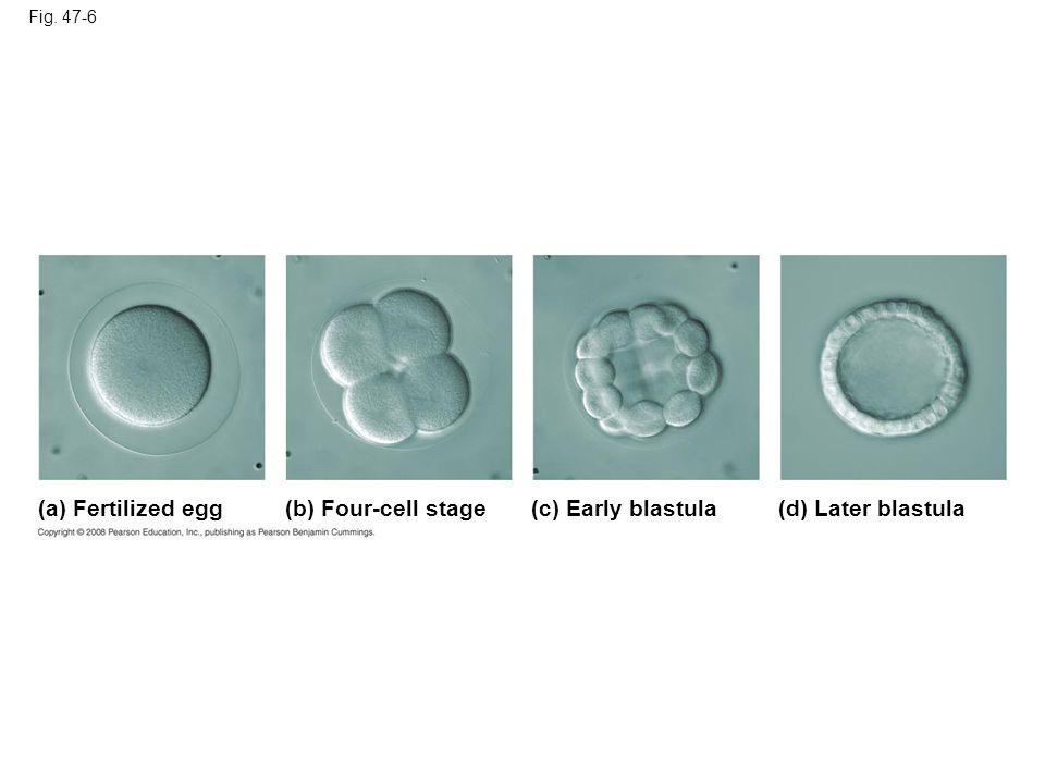 Fig. 47-6a (a) Fertilized egg