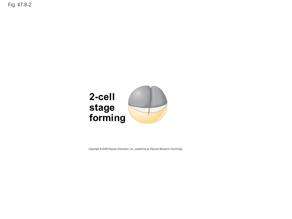 Fig. 47-8-3 4-cell stage forming