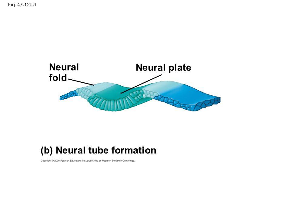 Fig. 47-12b-2 (b) Neural tube formation