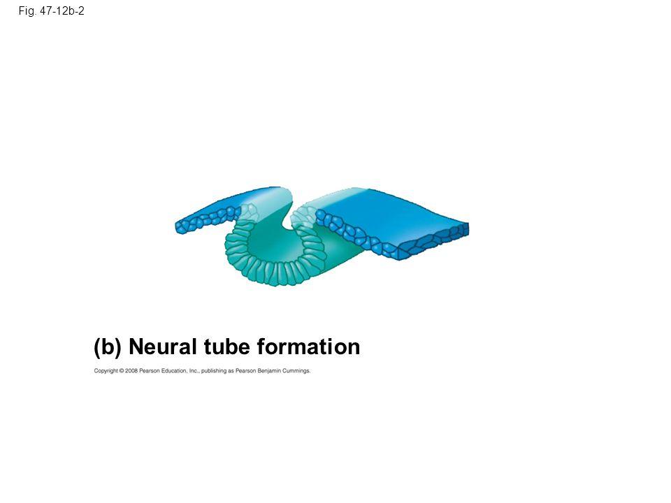 Fig. 47-12b-3 Neural crest cells (b) Neural tube formation