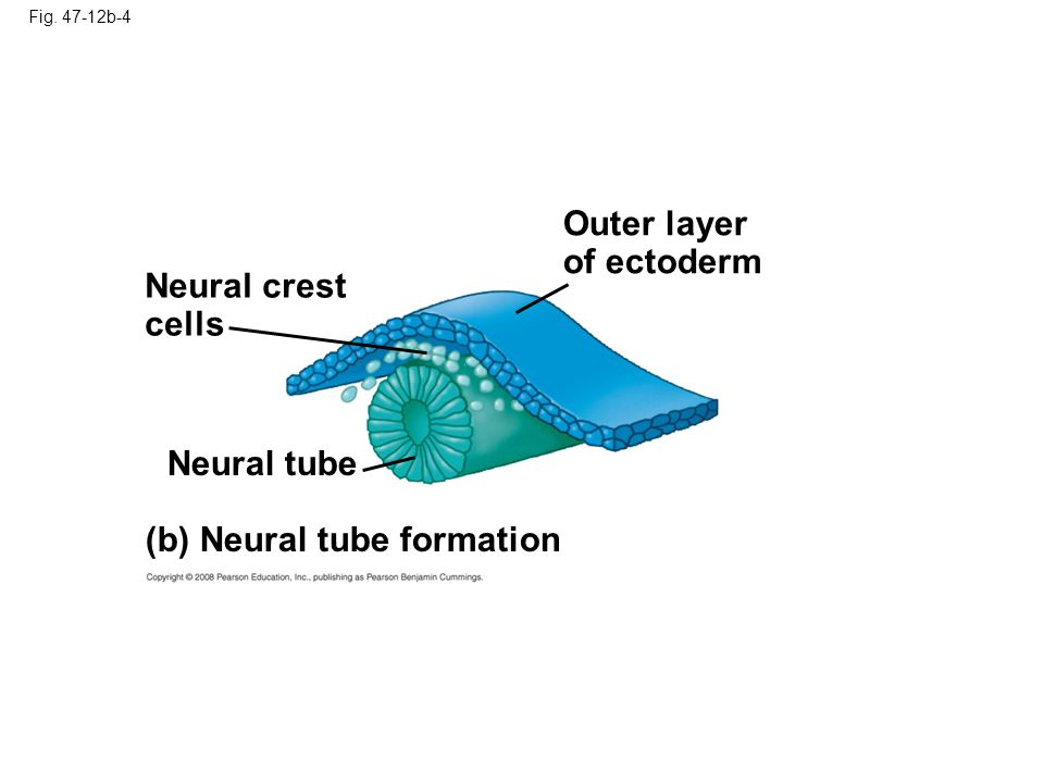 Copyright © 2008 Pearson Education, Inc., publishing as Pearson Benjamin Cummings Neural crest cells develop along the neural tube of vertebrates and form various parts of the embryo (nerves, parts of teeth, skull bones, and so on) Mesoderm lateral to the notochord forms blocks called somites Lateral to the somites, the mesoderm splits to form the coelom