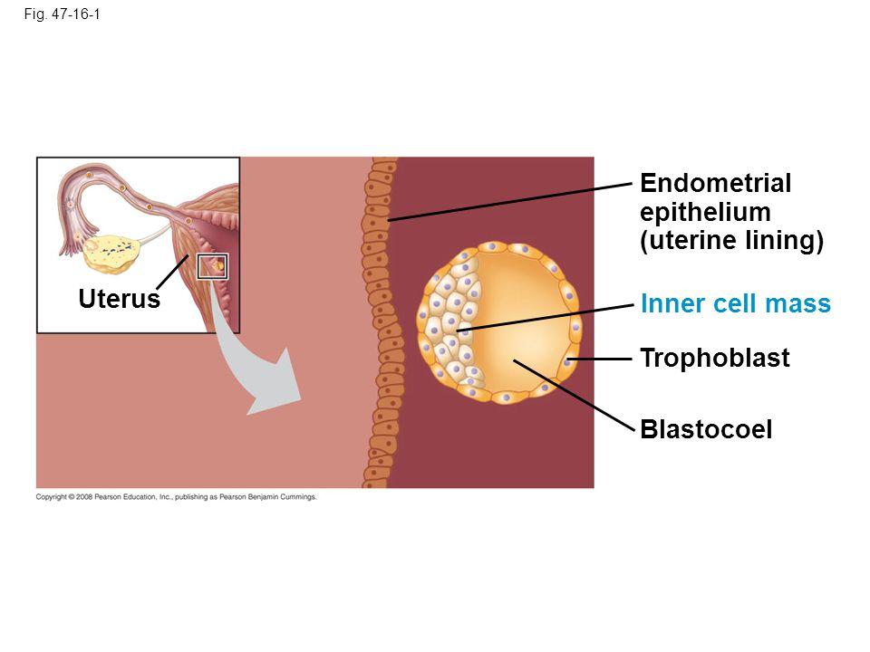 Fig. 47-16-2 Trophoblast Hypoblast Maternal blood vessel Expanding region of trophoblast Epiblast