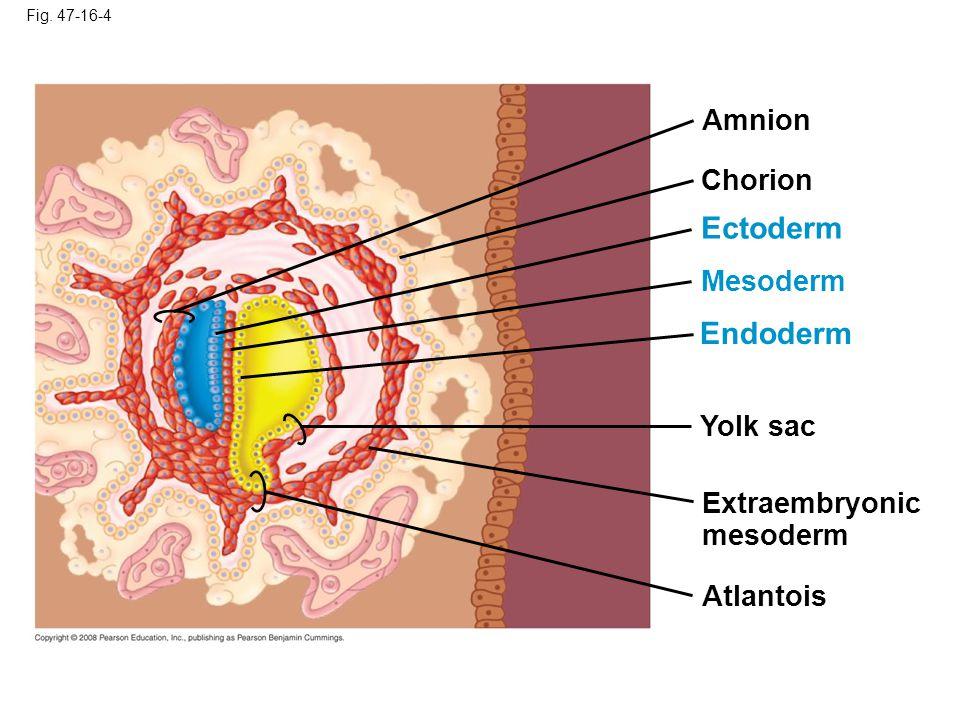 Fig. 47-16-4 Yolk sac Mesoderm Amnion Chorion Ectoderm Extraembryonic mesoderm Atlantois Endoderm