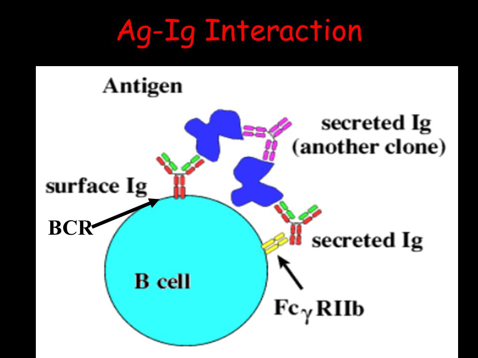 Ag-Ig Interaction BCR