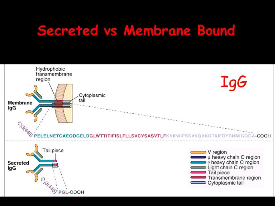 IgG Secreted vs Membrane Bound