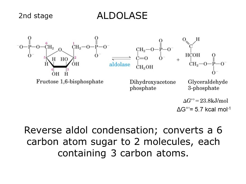 Reverse aldol condensation; converts a 6 carbon atom sugar to 2 molecules, each containing 3 carbon atoms.
