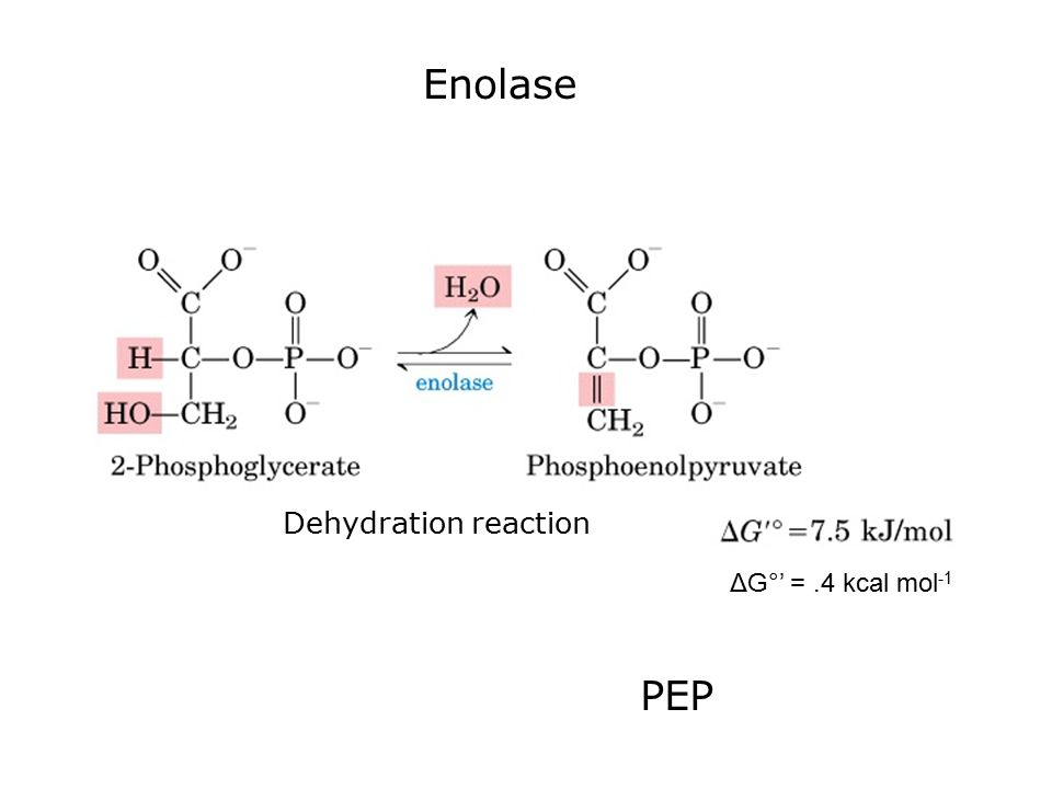 Enolase ΔG°' =.4 kcal mol -1 Dehydration reaction PEP