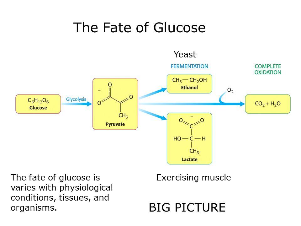 Glucose 6-phosphatase glucose 6-phosphate + H 2 O → glucose + P i.