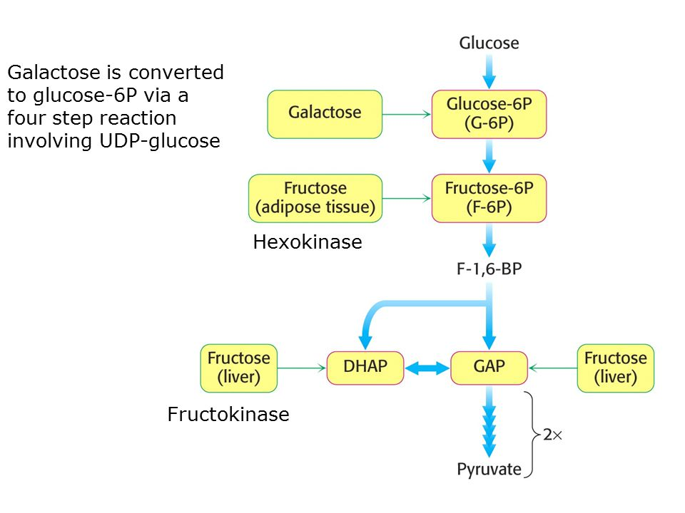 Galactose is converted to glucose-6P via a four step reaction involving UDP-glucose Hexokinase Fructokinase