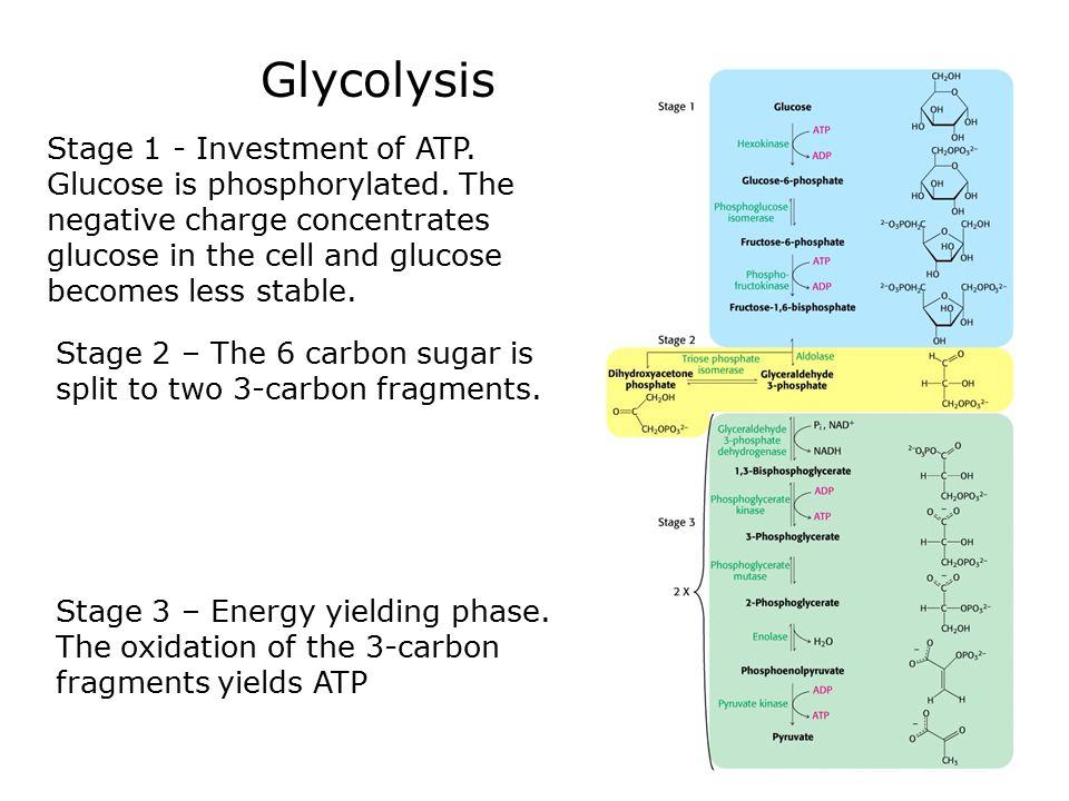Gluconeogenesis Gluconeogenesis is the synthesis of glucose from non-carbohydrate precursors.