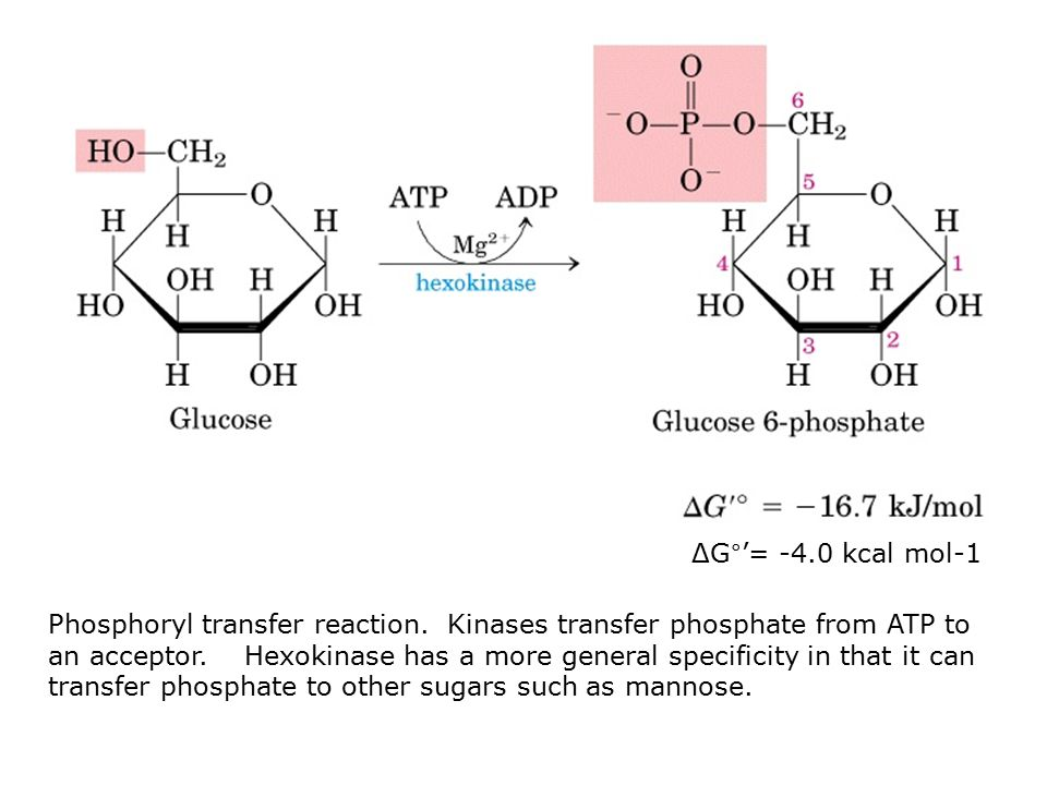 Phosphoryl transfer reaction. Kinases transfer phosphate from ATP to an acceptor.