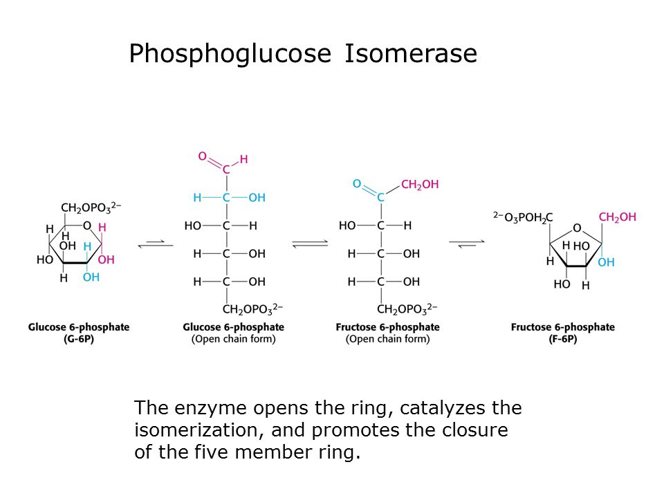 Phosphoglucose Isomerase The enzyme opens the ring, catalyzes the isomerization, and promotes the closure of the five member ring.