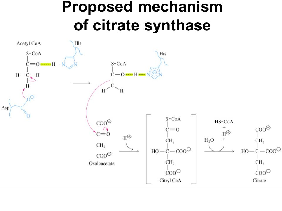 Proposed mechanism of citrate synthase