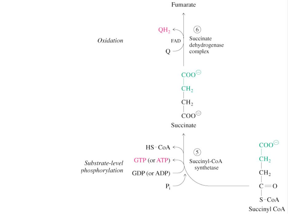 Fig 12.12 Regulation of the PDH complex Increased levels of acetyl CoA and NADH inhibit E 2, E 3 in mammals and E.