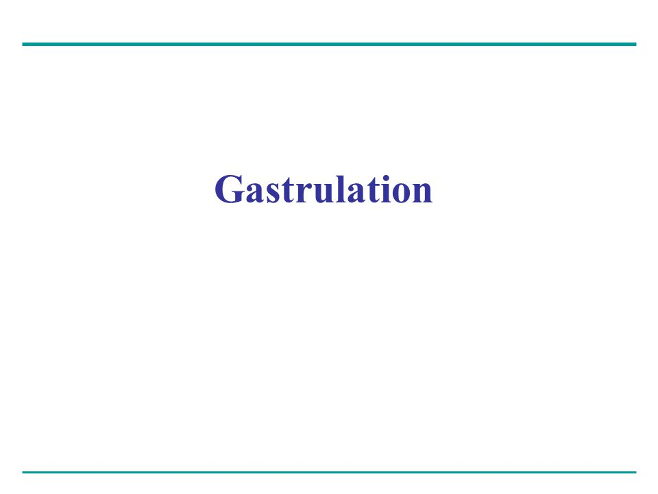 The morphogenetic process called gastrulation – Rearranges the cells of a blastula into a three- layered embryo, called a gastrula, that has a primitive gut