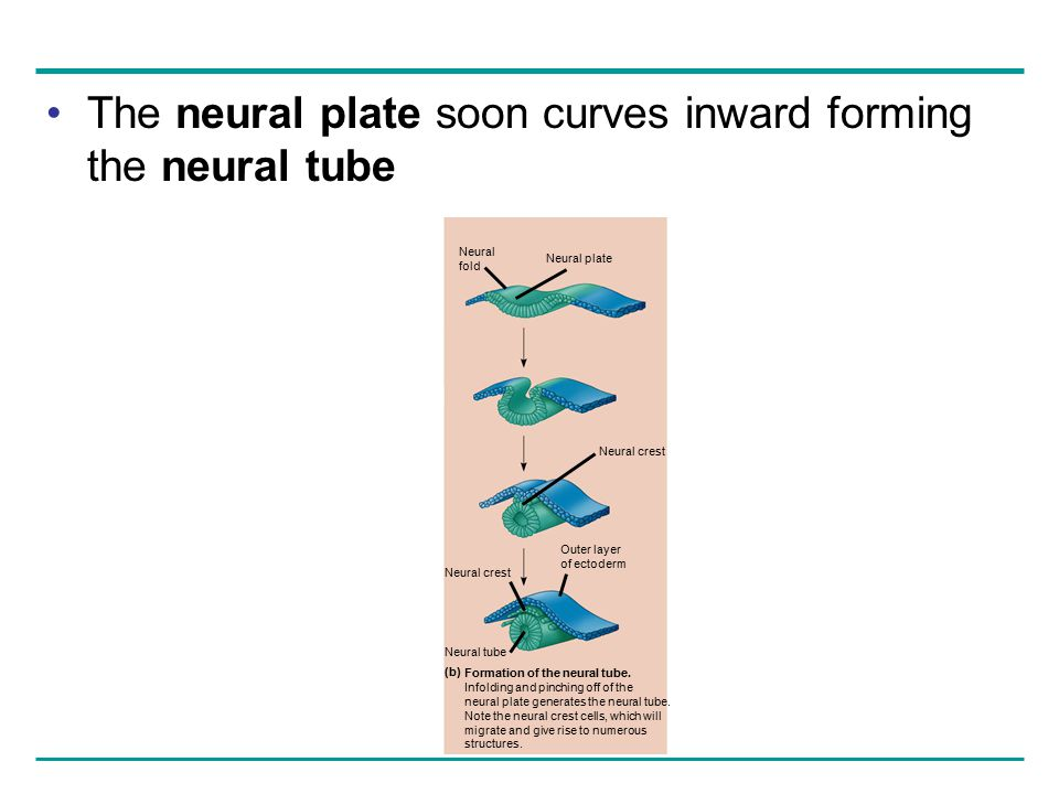 The neural plate soon curves inward forming the neural tube Formation of the neural tube. Infolding and pinching off of the neural plate generates the
