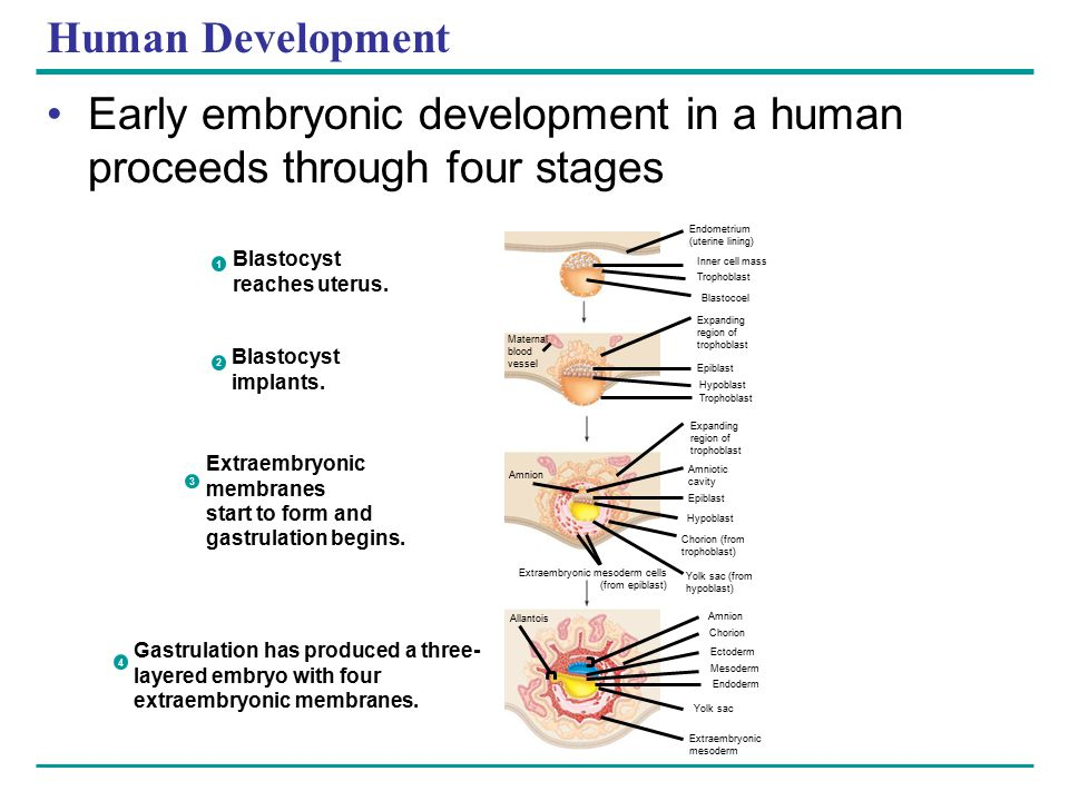 Human Development Early embryonic development in a human proceeds through four stages Endometrium (uterine lining) Inner cell mass Trophoblast Blastoc