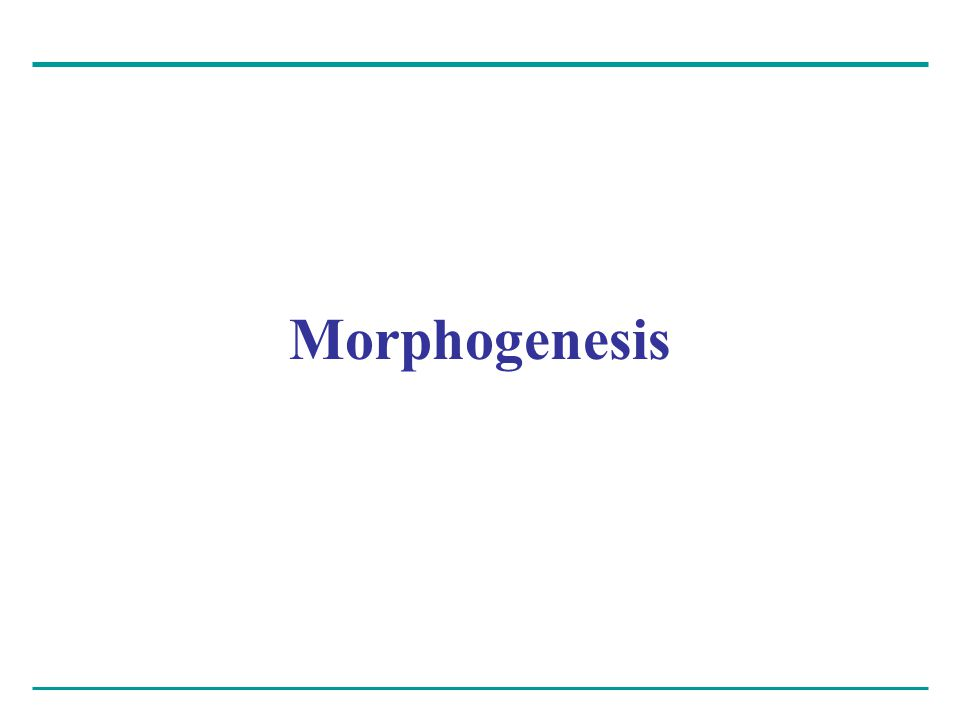 Morphogenesis in animals involves specific changes in cell shape, position, and adhesion Morphogenesis is a major aspect of development in both plants and animals – But only in animals does it involve the movement of cells