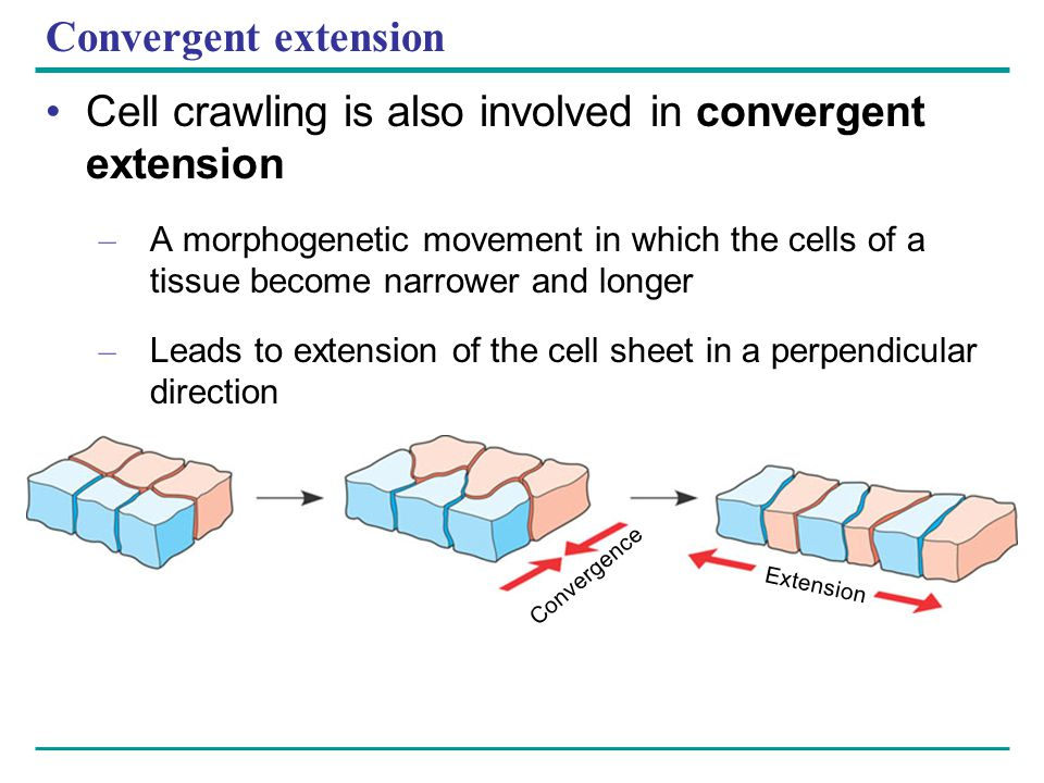 Convergent extension Cell crawling is also involved in convergent extension – A morphogenetic movement in which the cells of a tissue become narrower
