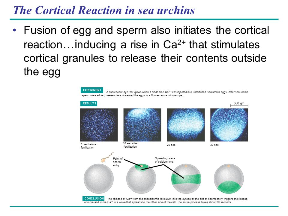 The Cortical Reaction in sea urchins Fusion of egg and sperm also initiates the cortical reaction …i nducing a rise in Ca 2+ that stimulates cortical