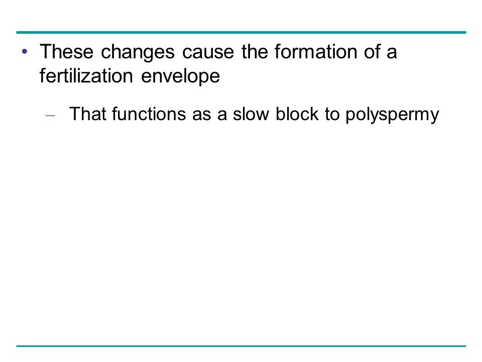 These changes cause the formation of a fertilization envelope – That functions as a slow block to polyspermy