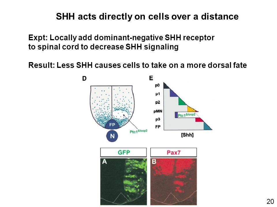 20 SHH acts directly on cells over a distance Expt: Locally add dominant-negative SHH receptor to spinal cord to decrease SHH signaling Result: Less SHH causes cells to take on a more dorsal fate