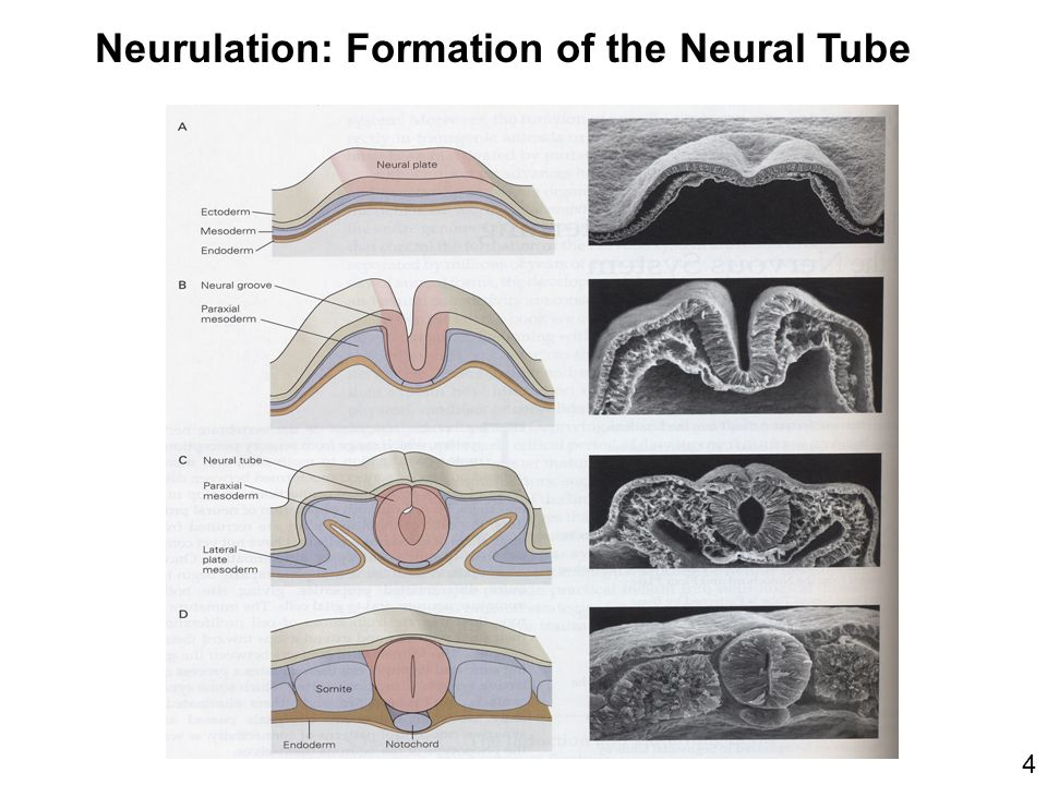 Neurulation: Formation of the Neural Tube 4
