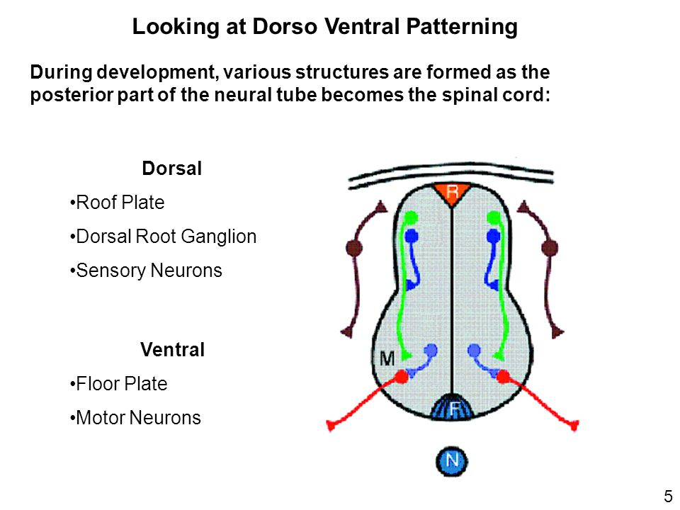 Looking at Dorso Ventral Patterning During development, various structures are formed as the posterior part of the neural tube becomes the spinal cord: Dorsal Roof Plate Dorsal Root Ganglion Sensory Neurons Ventral Floor Plate Motor Neurons 5