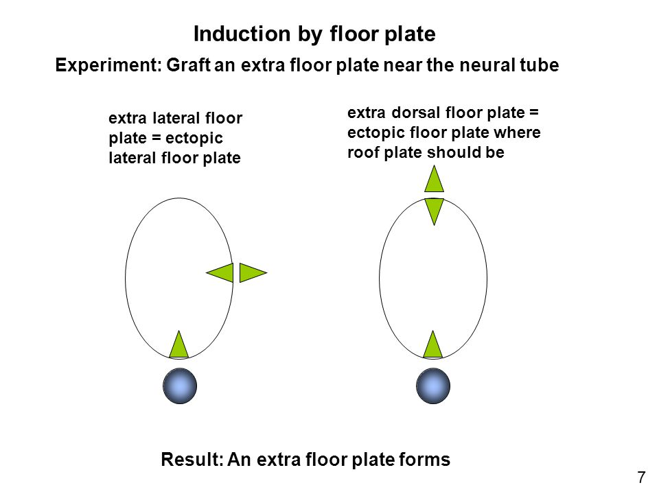 Induction by floor plate extra dorsal floor plate = ectopic floor plate where roof plate should be extra lateral floor plate = ectopic lateral floor plate 7 Experiment: Graft an extra floor plate near the neural tube Result: An extra floor plate forms