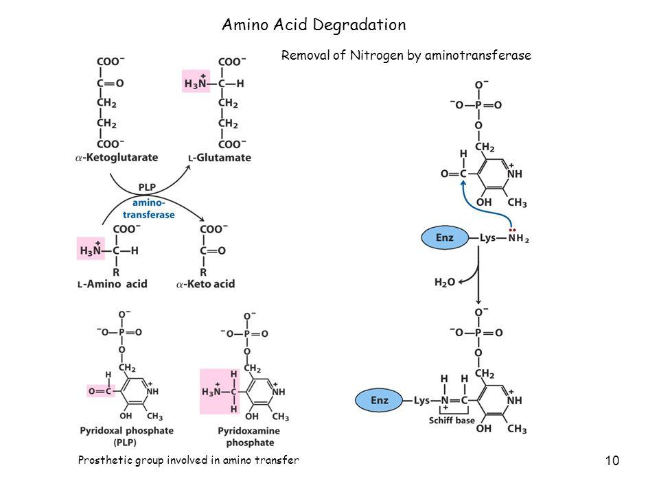 10 Amino Acid Degradation Removal of Nitrogen by aminotransferase Prosthetic group involved in amino transfer