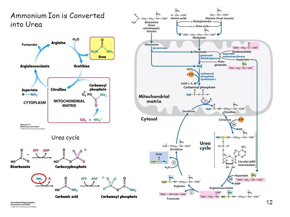 12 Ammonium Ion is Converted into Urea Urea cycle