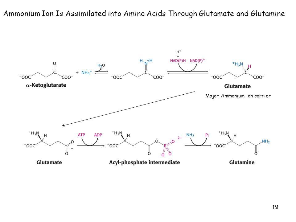 19 Major Ammonium ion carrier Ammonium Ion Is Assimilated into Amino Acids Through Glutamate and Glutamine