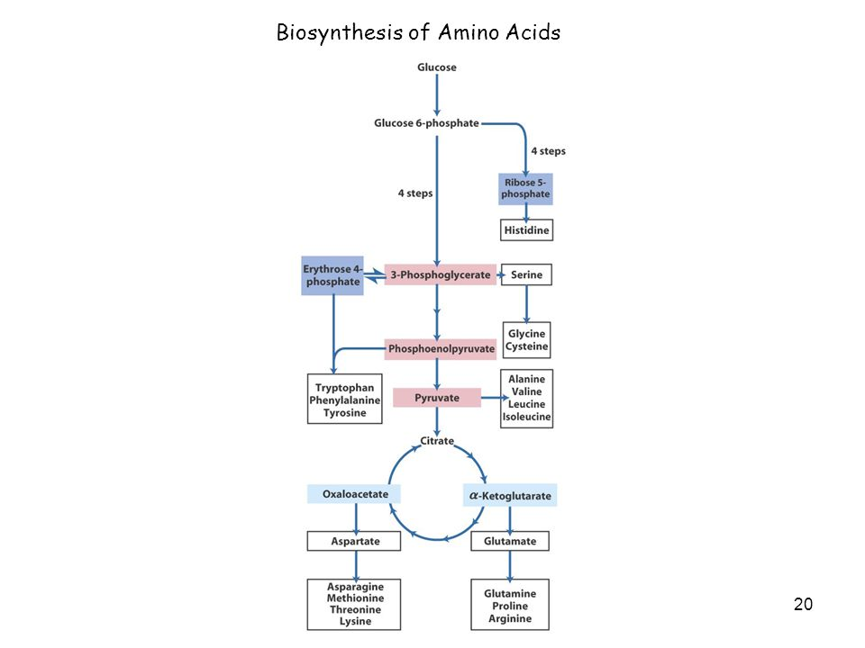 20 Biosynthesis of Amino Acids
