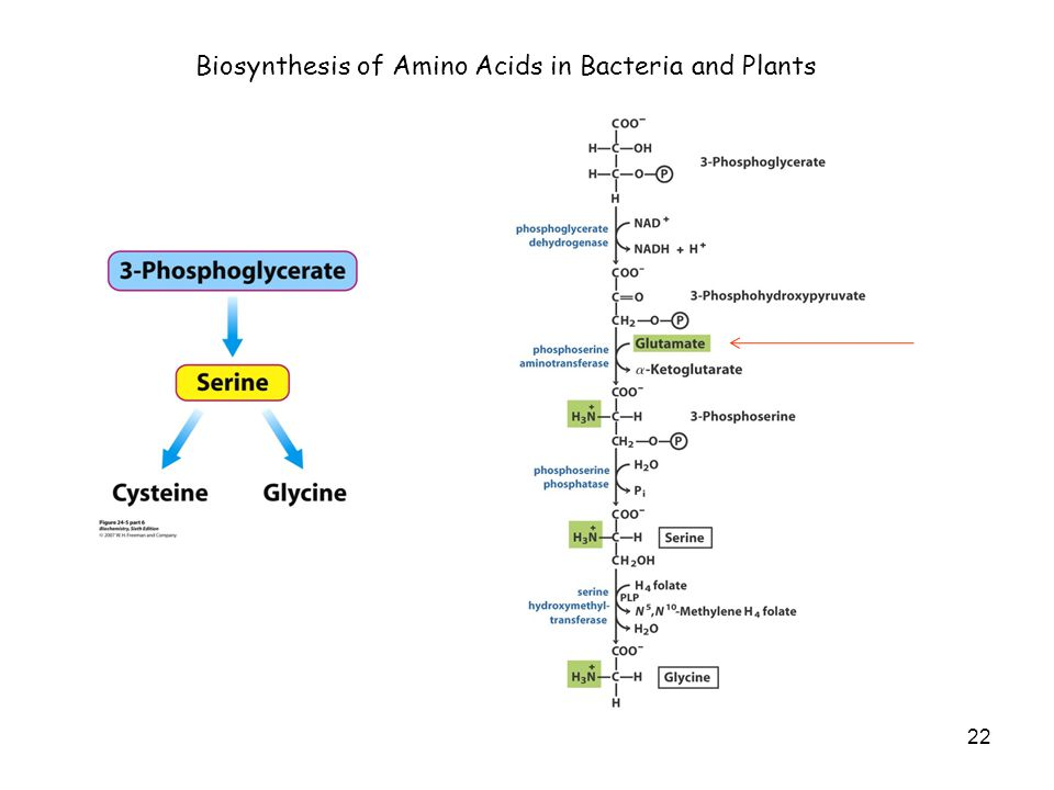 22 Biosynthesis of Amino Acids in Bacteria and Plants